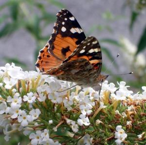 farfalla di Bordano